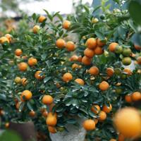 Cách trồng và chăm sóc cây quất sau Tết