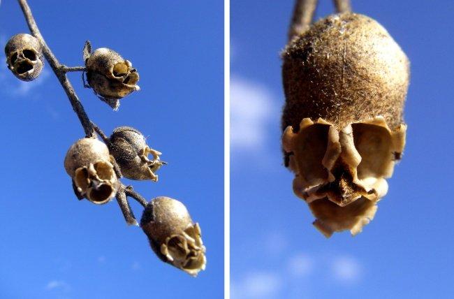 Cây hoa rồng có hình đầu lâu
