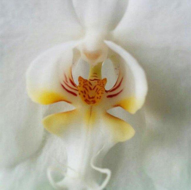 Hoa lan trông giống như một con hổ