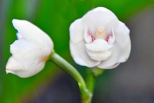 Hoa bồ câu - Dove orchid or Holy Ghost orchid (Peristeria Elata)