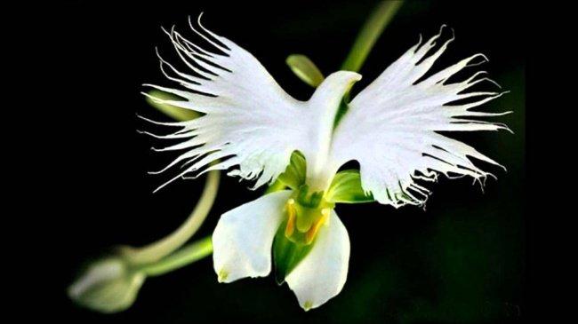 Hoa cò trắng - White Egret orchid (Habenaria Radiata)
