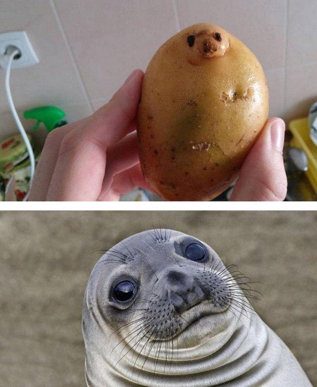 Củ khoai tây và con hải cẩu
