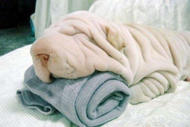 Con chó và chiếc khăn tắm ở bên dưới đầu nó