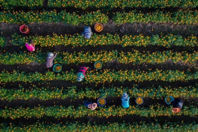 Người nông dân hái hoa cúc