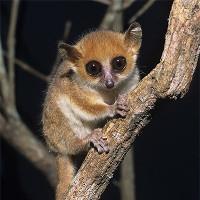 Loài vượn cáo mới tìm thấy ở Madagascar