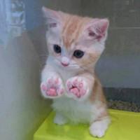 Các nhà nghiên cứu phát hiện: Mèo cái có nhiều khả năng thuận chân phải