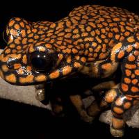 Hai loài ếch mới được đặt theo tên của nhà làm phim huyền thoại Stanley Kubrick