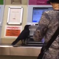 """Nhật Bản: Không có tiền, con quạ """"ranh ma"""" ăn trộm thẻ tín dụng của hành khách để mua vé tàu"""